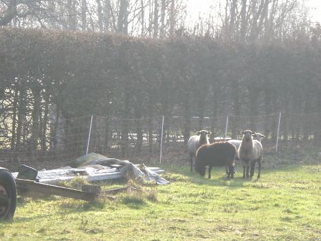 Schafe in Eden