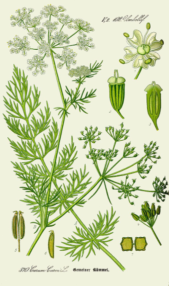 Illustration aus Otto Wilhelm Thomé: Flora von Deutschland, Österreich und der Schweiz. Gera 1885. de.wikipedia.org