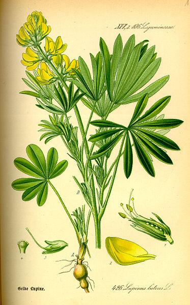 Otto Wilhelm Thomé, Gera 1885, http://biolib.de Lupinus luteus